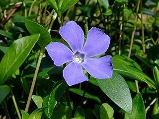 Myrtle 48 Plants - Periwinkle/Vinca - Hardy Groundcover - 2 1/4