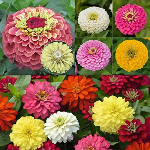 tomgarten Volmary Saatgut Zinnien für Topf und Garten Volmary Saatgut Set Klassische Blütenpracht