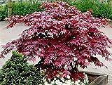 Altezza: 40 cm Diametro vaso: 15 cm Tipo di pianta: sempre verde Quando rinvasare: quando il vaso è troppo piccolo