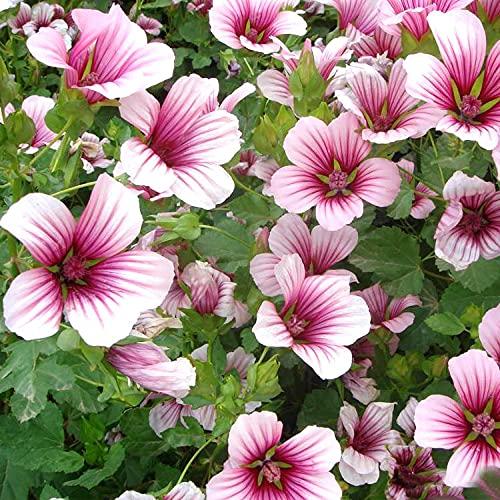 Eantpure Semillas de macetas de Flores,Secuencia de Semillas de Mallenni-Malura_500g,perenne Resistente Semillas
