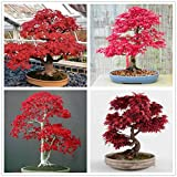 hua xian zi 30+ Bonsai Tree Seeds, Japanese...