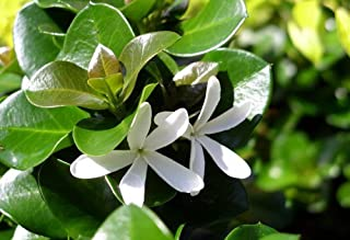 Boxwood Beauty Natal Plum Tree - Carissa macrocarpa - House Plant/Bonsai -4