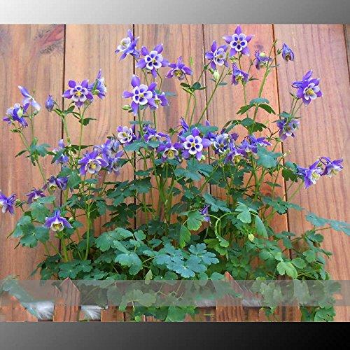 (Ancolie 24 Type * Ambizu *) Rare Garden Columbine (Aquilegia) Graines, Paquet professionnel, 100 graines/Pack Plantes vivaces Herbes (Aquilegia 22)