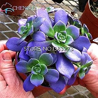 shopmeeko 10pcs crassula capitella thyrsiflora red Pagoda Succulent Cactus Seeds jatropha Tree Herbs Plants Seeds Mini potpi: Multi-Colored