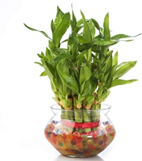 Nurturing Green Lucky Bamboo Plant (Small:2 Layer Bamboo, Glass Pot)