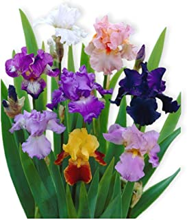 Reblooming Bearded Iris - 3 Large Rhizomes - Colorful Cocktail Mix - Blooms Twice in One Year | Ships from Easy to Grow