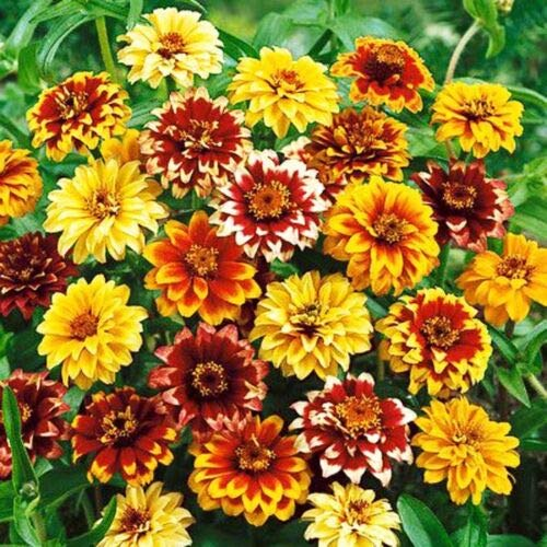 Altes Mexiko Zinnien Zinnia Haageana, Doppelblume, 700 Samen