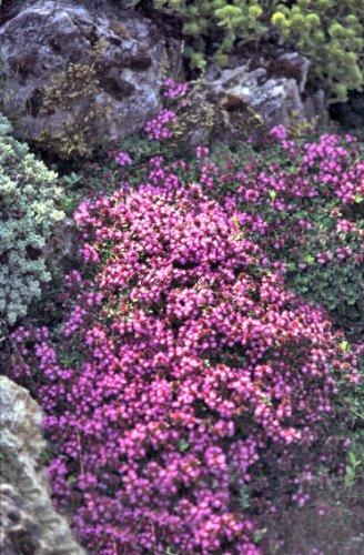 Staudenkulturen Wauschkuhn Thymus serphyllus 'Coccineus' - Quendel, Feldthymian - Staude im 9cm Topf