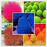 50Pcs /Pack Seeds Perennial Burning Bush Kochia Scoparia Seeds Mixed Garden Easy Grow for Home Garden : Blue