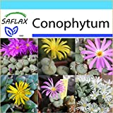 SAFLAX - Geschenk Set - Sukkulenten - Blühende Steine/Conophytum Mix - 40 Samen - Mit Geschenk- / Versandbox, Versandaufkleber, Geschenkkarte und Anzuchtsubstrat - Conophytum Mix