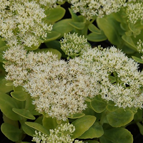 Blumixx Stauden Sedum spectabile 'Stardust' - Fetthenne, im 0,5 Liter Topf, weiß blühend