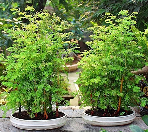 Bonsai Graines métaséquoia Bonsai Tree Grove Metasequoia glyptostroboides bricolage Home Gardening Facile à cultiver 100 particules / lot