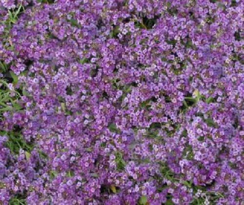 100 Samen Alyssum Prost Lavendel Bodendecker
