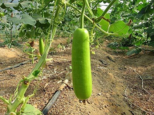 Fash Lady Asiatische Gemüsesamen Calabash Long Essbare Flasche Kürbis Gaguava Bohne, Opo, Lauki