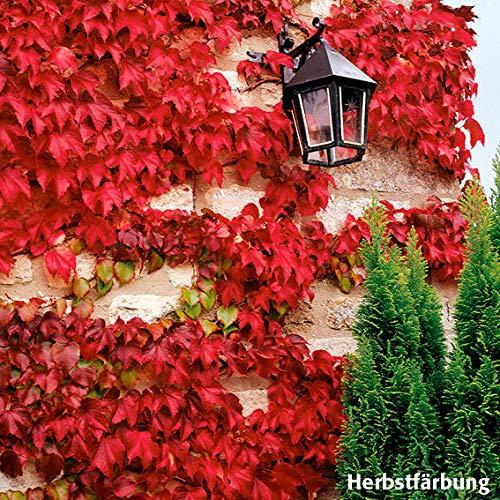 Yukio Samenhaus - Rarität Kletter-Efeu Kletterpflanzen echt Mischung, Wilder Wein immergrün Bodendecker Pflegeleicht Blumensamen winterhart mehrjährig für Pergola und Co.