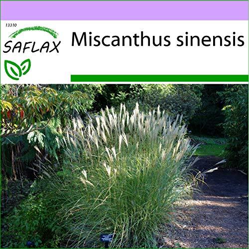 SAFLAX - Roseau de Chine - 200 graines - Miscanthus sinensis