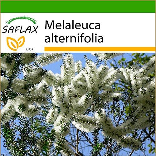 SAFLAX - Australischer Teebaum - 400 Samen - Mit keimfreiem Anzuchtsubstrat - Melaleuca alternifolia