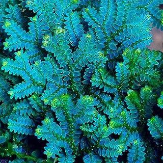 WANCHEN Bonsai 50PCS Selaginella Uncinata Bonsai Indoor Plants Flowers New Arrival DIY Home Garden Flower Plant