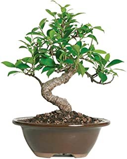 Brussel's Bonsai Live Golden Gate Ficus Indoor Bonsai Tree-4 Years Old 5