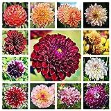 Los Bulbos De Dalia Son De Color Brillante,Dalias Bulbos,Fácil De Cultivar,Valor Ornamental,Plantas De Jardín En Primavera,Muy Bonitas-5 Bulbos,1