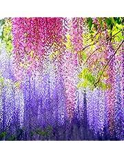 Semillas de Flores Paisaje para,Wisteria Seed Plant Potted Flower Seeds,perennes Semillas de Flores