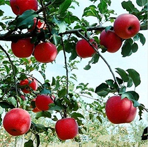 bonsaï nain 50 graines cueillir des fruits délicieux dans votre jardin facile -growing Bonsai FruitFree Livraison 5