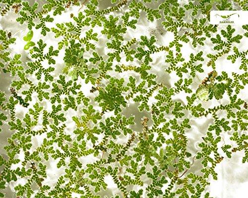 Winterharte Teich- und Aquarien Schwimmpflanze - Algenfarn - Azolla filiculoides - Garnelio Portion
