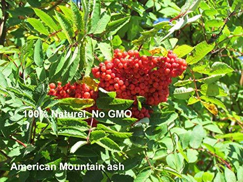 GETSO 10 + Samen - Amerikanische Eberesche - Sorbus Americana Sorbier d'Amérique -