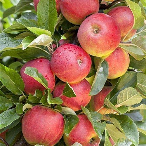 Apfel Baum 'Elstar' Malus domestica 150-200cm im 7,5L Topf gewachsen winterhart