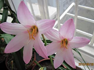 HOT - 5 Habranthus Cherry Pink - Very Choice Rain Lily Bulbs!