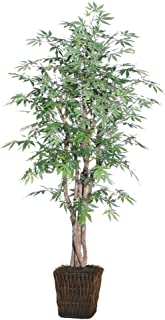 Best japanese maple tree 6ft Reviews