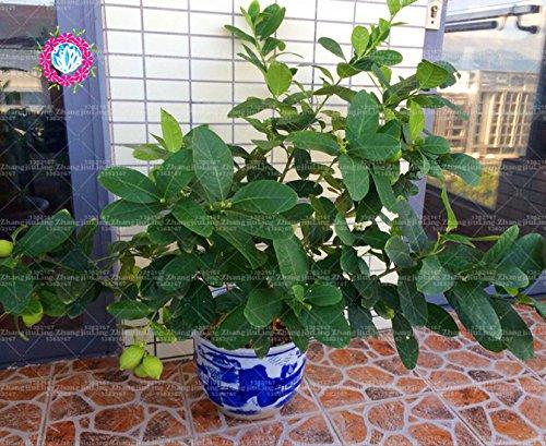 20pcs arbre citron vert graines de chaux bonsaï graines de fruits bio vert nourriture saine facile à cultiver pot