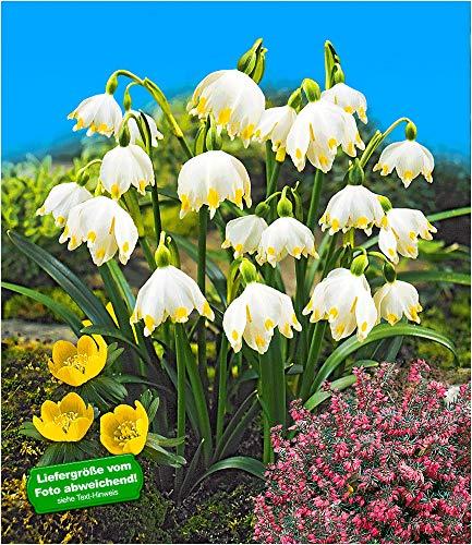 BALDUR-Garten Märzbecher Leucojum, 24 Zwiebeln