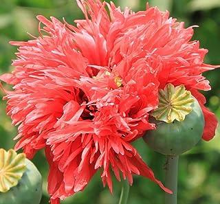 Amapola de opio - Papaver somniferum - ¡500 semillas!