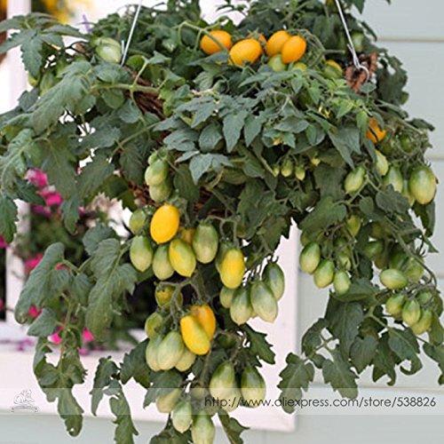 Visa Store Semences F1 de tomate F1, pack professionnel, 100 semences/pack, quantités exceptionnelles sur des plantes en cascade dans des paniers # TS022