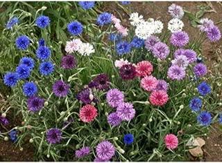 20 Centaurea Cyanus Polka Dot Mix Bachelors Button Seeds #DS04