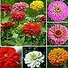 50pcs colori misti Zinnia Elegans semi gigante giardino Piantare Fiore #1