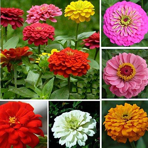 50pcs colori misti Zinnia Elegans semi gigante giardino Piantare Fiore