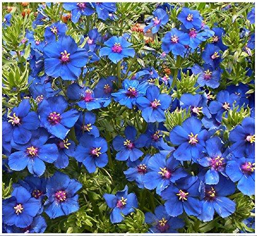 Lot de 100 graines de Mouron à Grandes fleurs Blue Noon - annuelle