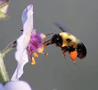 100 White Blush Verbascum Blattaria Albiflorum Moth Mullein Flower Seeds