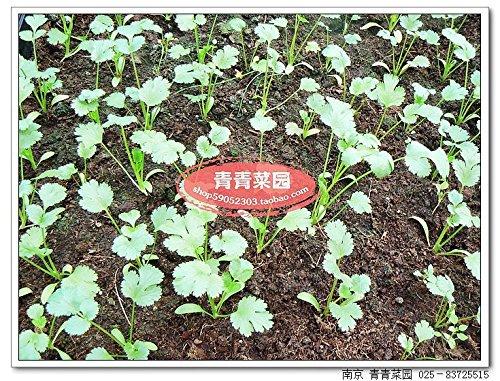gros carvi Graines de santé naturels petits emballages de semences de légumes 100 graines / paquet