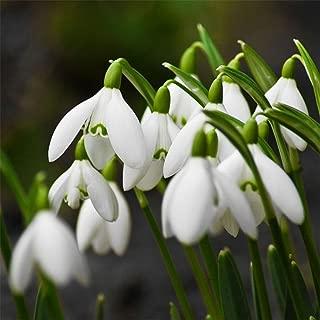 super1798 200 Pcs Snowdrop Galanthus Seeds Bulbs Growing Gardening Flower