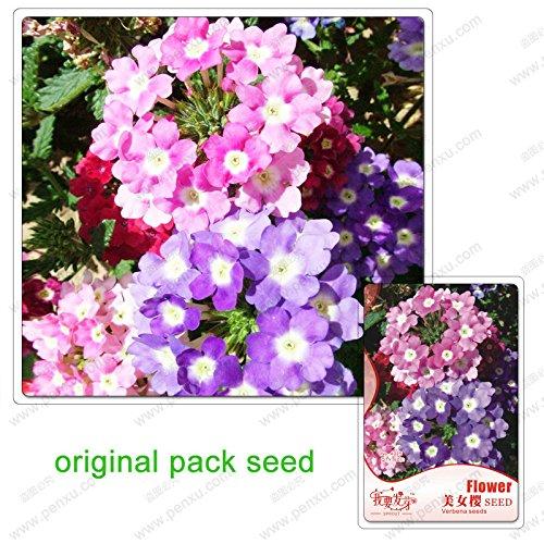 60 graines/Pack, graines belles Verbena hybrida, mis en pot graines de plantes Bonsai verveine