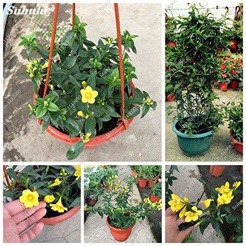 Jaune vif Jasmine Graine Gardenia jasminoides Escalade Fleur exotique Graine Arbuste Belle Bonsaï Seed 20 Pcs/Sac