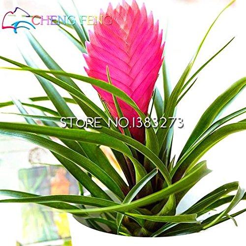 50HOT SALE Tillandsien Cyanea Samen Getopfte Blumensamen violett Chinesische Rare Bonsai Dekoration für Home & Garden Shown In Desc farblos