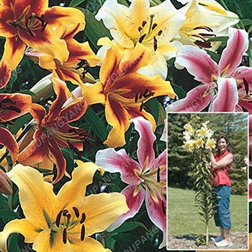 Elitely 35 Stücke Seltene Riesige Liliensamen Indoor Calla Liliensamen Schöne Blume Hausgarten Lilien Blumensamen: Klar