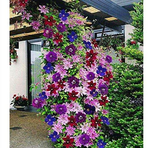Ultrey Samenshop - 40 Stück Clematis Samen Kletterpflanzen Garten Zierpflanzen Blumensamen Waldrebe-Saatgut winterhart mehrjährig für Garten Balkon/Terrasse