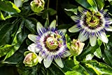 Lila Blaue Passionsblume - Passiflora caerulea - 50-70cm 2 Ltr. Topf -