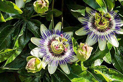 Lila Blaue Passionsblume - Passiflora caerulea - 50-70cm 2 Ltr. Topf