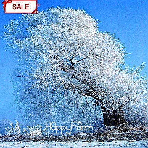 Hot Sale! Graines Cedar Tree Cedrus Bonsai Bonsai bricolage jardin des plantes 10 graines / sac, # FXOZW1